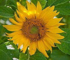 Mittwochs-Sonnenblümchen