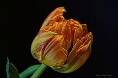 Mittwochs Tulpe