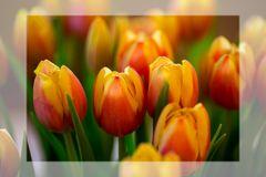Mittwochs-Tulpen