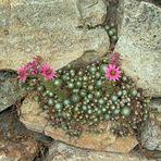 Mittwochsblümchen -7- Sempervivum