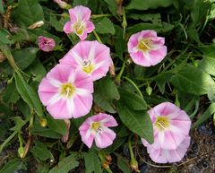 Mittwochsblümchen: Acker-Winde