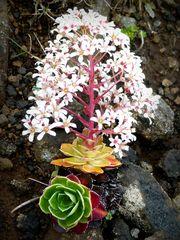 Mittwochsblümchen aus Island