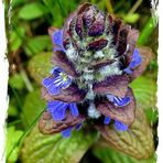 Mittwochsblümchen- Blauer Günsel