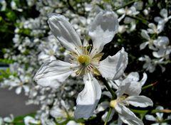 Mittwochsblümchen: Blüte von Bitter Orange