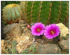 Mittwochsblümchen- Blütenduo