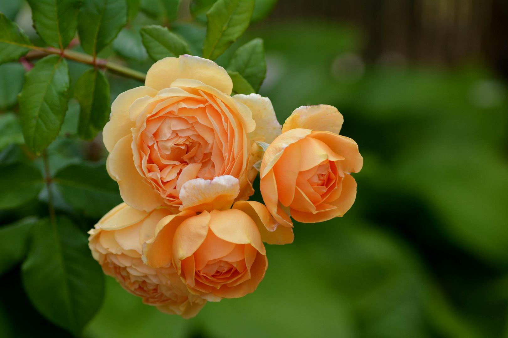 Mittwochsblümchen - Crown Princess Margareta