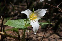Mittwochsblümchen: Die Große Waldlilie (Trillium grandiflorum)...
