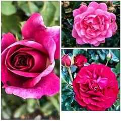Mittwochsblümchen- Drei erblühte Rosen