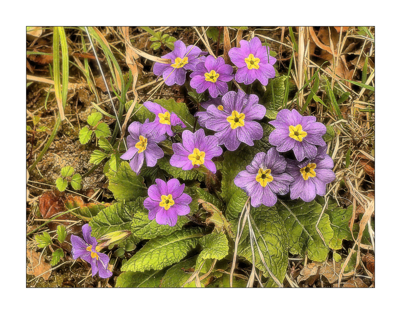 Mittwochsblümchen- Fliederfarbene Primeln