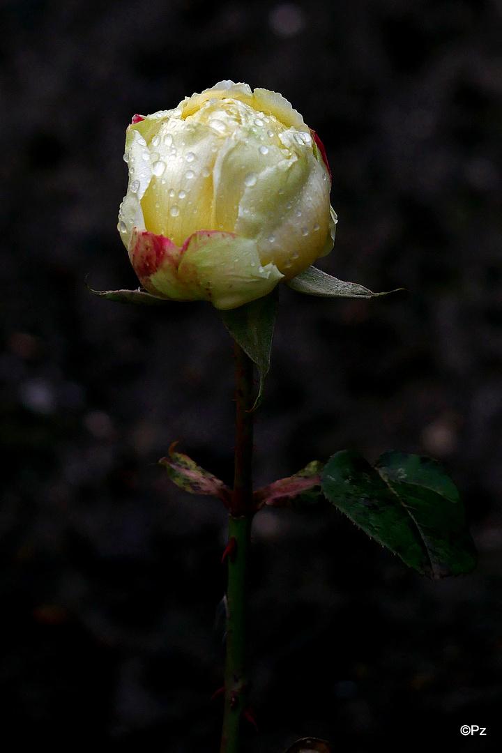 Mittwochsblümchen: Gartenrose im Januar ...