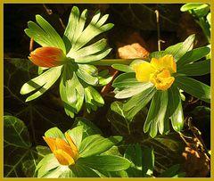 Mittwochsblümchen- Gelbe Pflänzchen