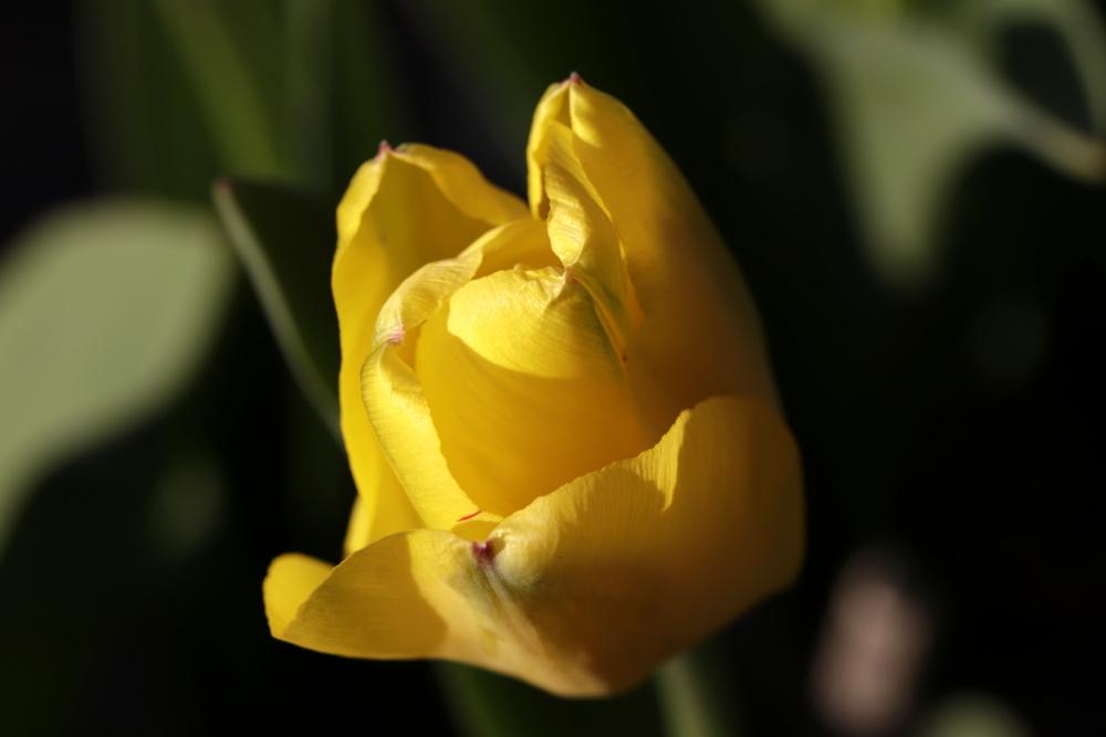 Mittwochsblümchen: gelbe Tulpe