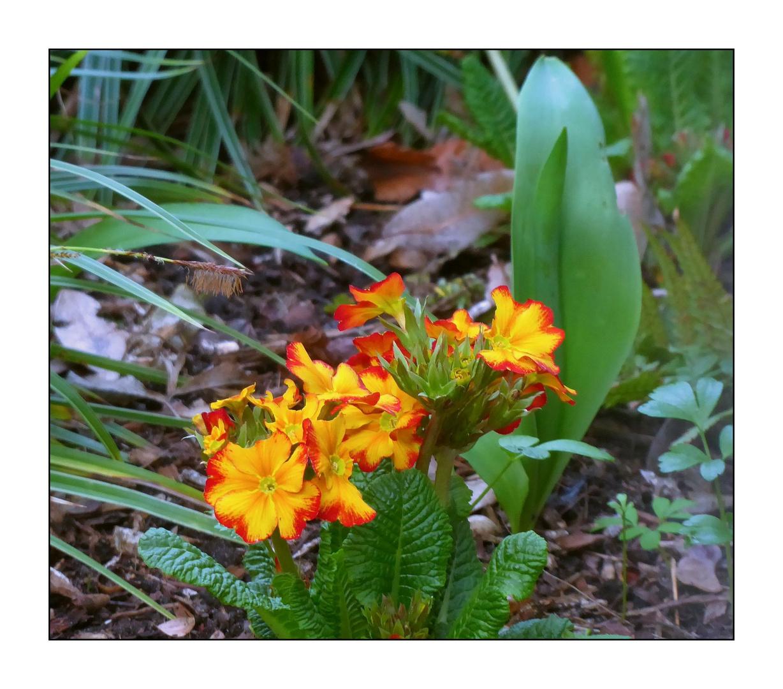 Mittwochsblümchen- Gelbrote Primeln