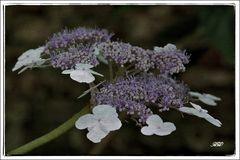 Mittwochsblümchen (Hortensie)