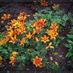 Mittwochsblümchen im Garten