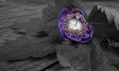 Mittwochsblümchen ist heute das Leberblümchen