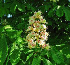 Mittwochsblümchen: Kastanienblüten