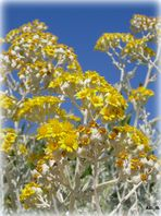 Mittwochsblümchen - Kleine Sonnen von Ibiza
