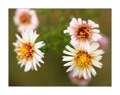 Mittwochsblümchen- Kleine Weiße