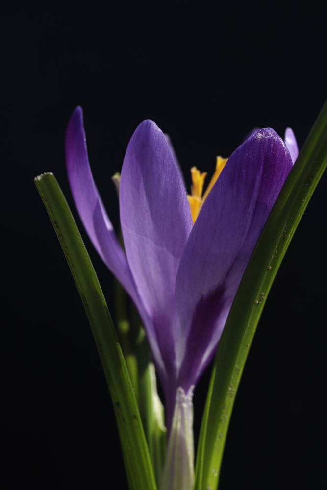 Mittwochsblümchen: Krokus