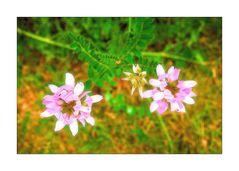 Mittwochsblümchen- Kronwicke