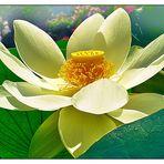 Mittwochsblümchen- Lotos in voller Blüte