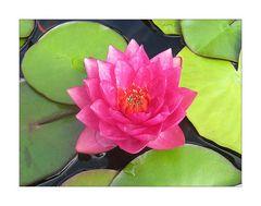 Mittwochsblümchen- Lotosblüte in pink-rosé