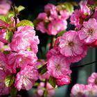 Mittwochsblümchen-Mandelblüten