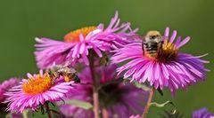 Mittwochsblümchen mit Bienchen