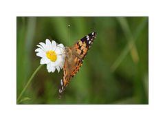 Mittwochsblümchen mit Schmetterling