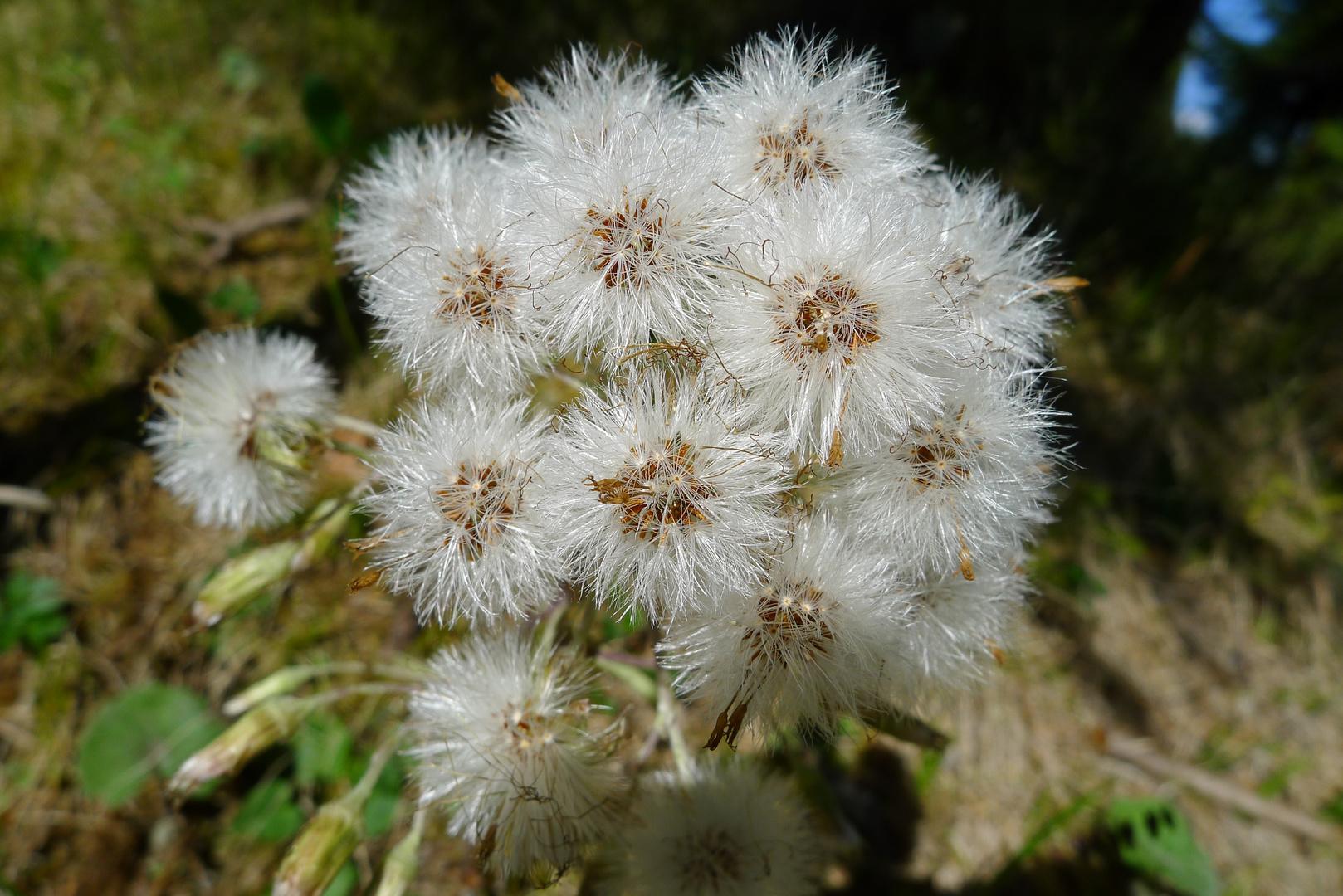 Mittwochsblümchen: Pestwurz (verblüht)