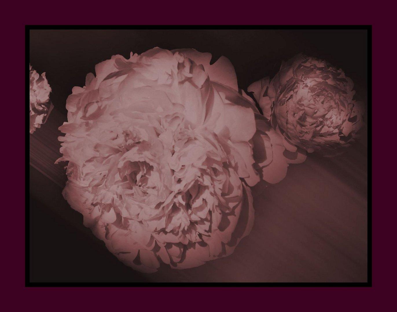 Mittwochsblümchen- Pfingstrosen