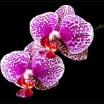 Mittwochsblümchen - Phalaenopsis -