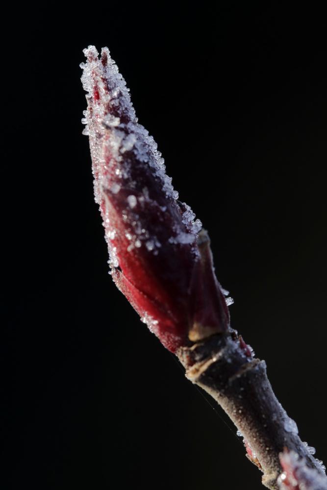 Mittwochsblümchen: Rauhreif auf einer Knospe