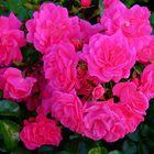 Mittwochsblümchen / Rosen vom Tegernsee
