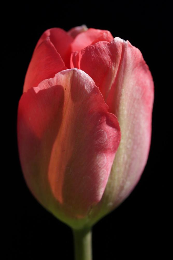 Mittwochsblümchen: rote Tulpe