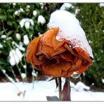 Mittwochsblümchen- Schneerose