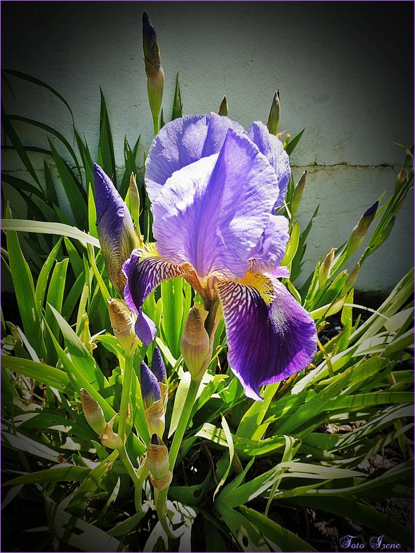 - Mittwochsblümchen - Schwertlilie -Iris