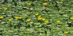 Mittwochsblümchen: Seekanne (selten)