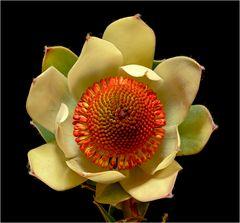 Mittwochsblümchen - Silberbaumblüte Nr. 2