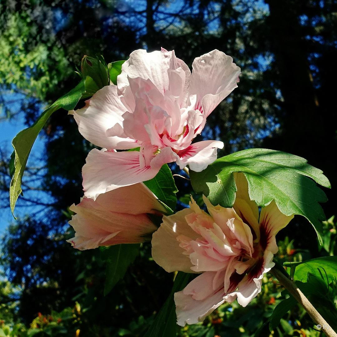 mittwochsbl mchen strauch eibisch hibiscus syriacus lady stanley foto bild pflanzen. Black Bedroom Furniture Sets. Home Design Ideas