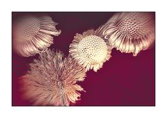 Mittwochsblümchen- Strohblumen statt frische Bunte