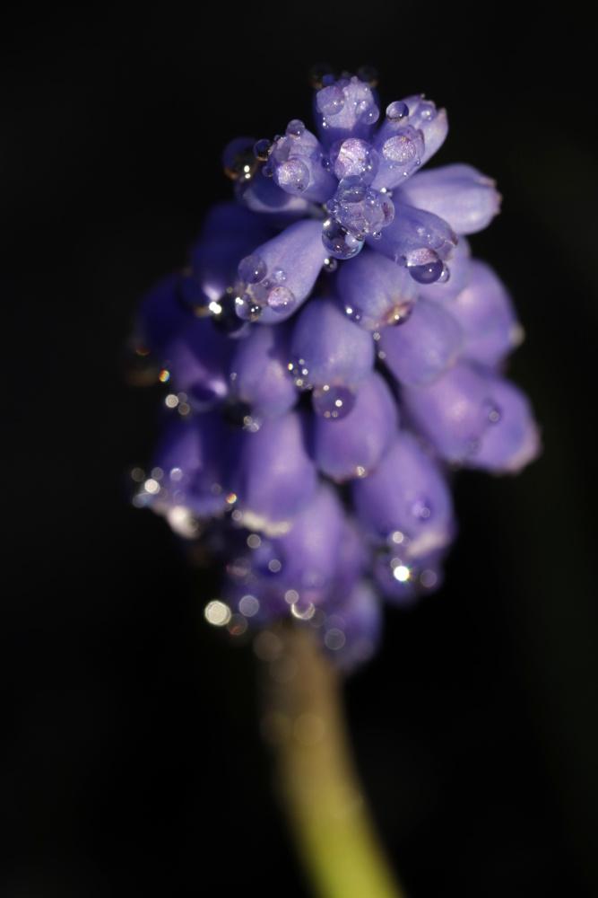 Mittwochsblümchen: Traubenhyazinthe