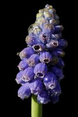 Mittwochsblümchen: Traubenhyazinthe (Muscari)