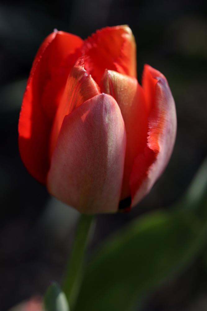 Mittwochsblümchen: Tulpe