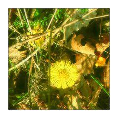 Mittwochsblümchen- Verborgen unter Blättern