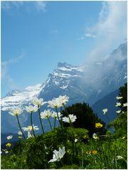 Mittwochsblümchen vor dem Wetterhorn