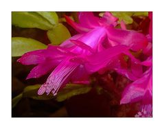 Mittwochsblümchen-Weihnachtskaktus