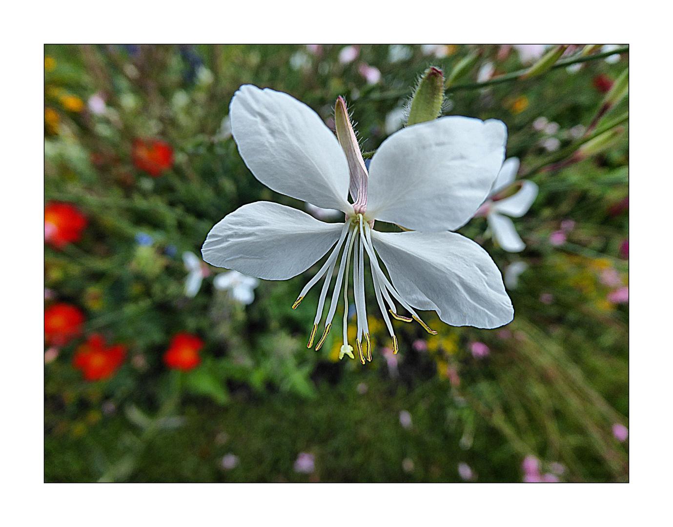 Mittwochsblümchen- Wie ein weißer Schmetterling