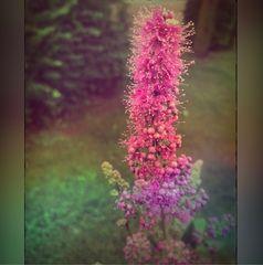 Mittwochsblümchen- Wilde rosa Pflanze